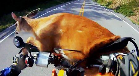Motorcycle crashing into deer